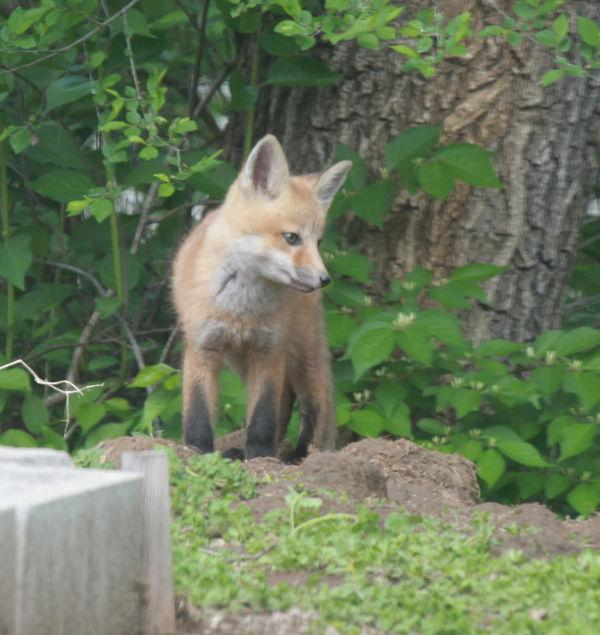 004 Fox Family on Front and Walnut.jpg