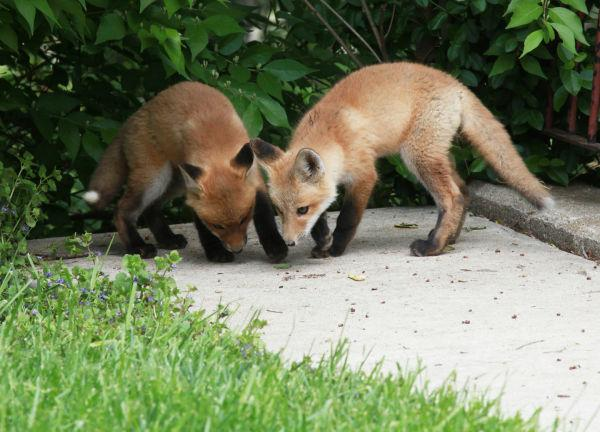 026 Fox Family on Front and Walnut.jpg