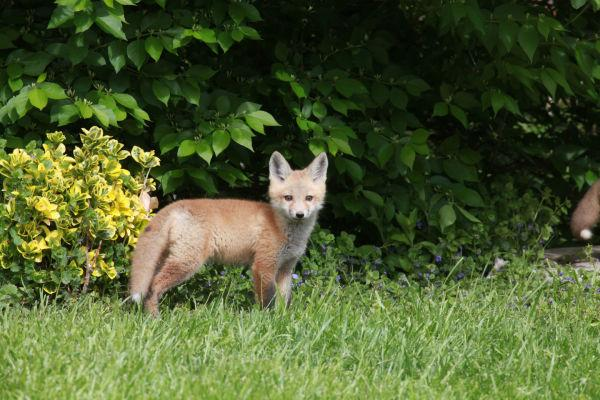 022 Fox Family on Front and Walnut.jpg