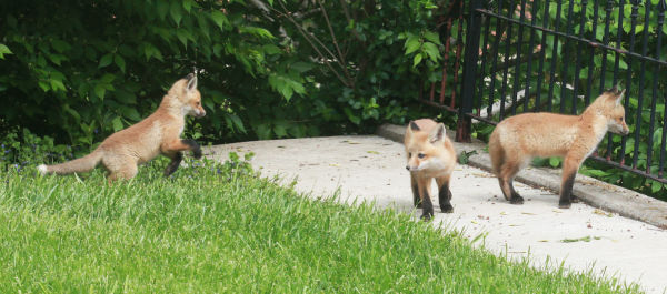 008 Fox Family on Front and Walnut.jpg