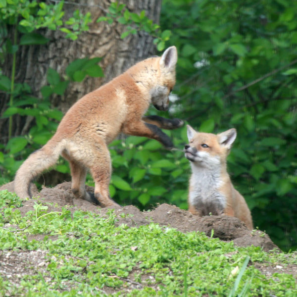 006 Fox Family on Front and Walnut.jpg