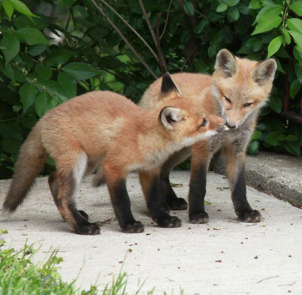 030 Fox Family on Front and Walnut.jpg
