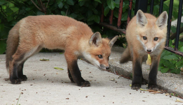 032 Fox Family on Front and Walnut.jpg