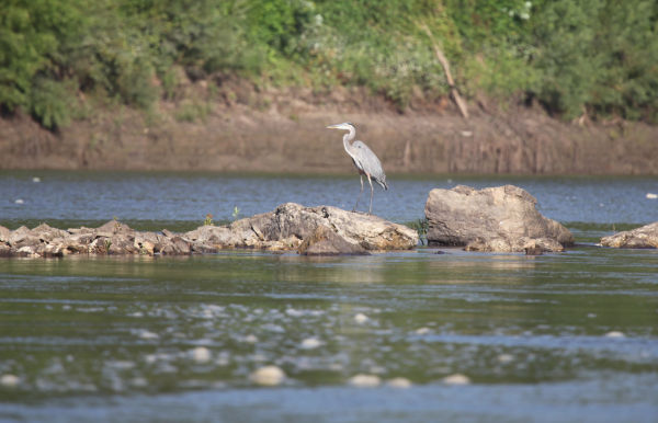 005 Scenes from the River Aug 2013.jpg