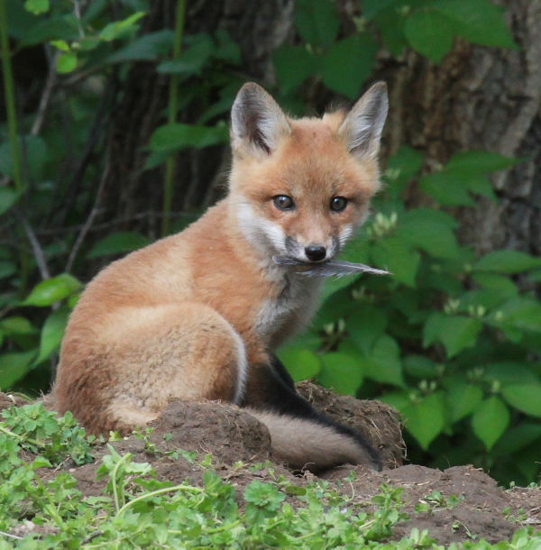036 Fox Family on Front and Walnut.jpg