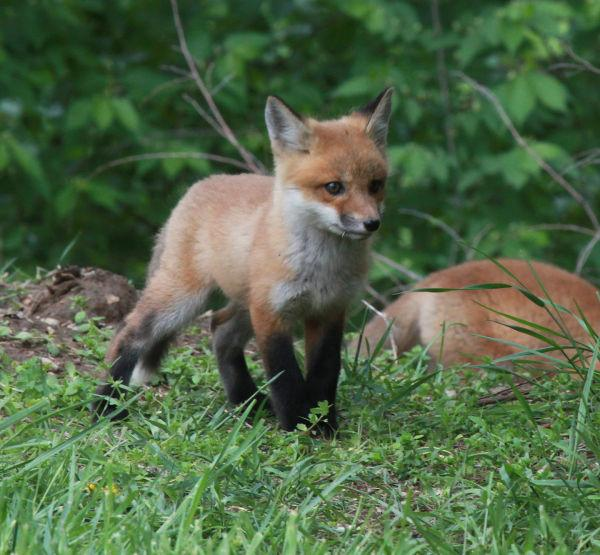 041 Fox Family on Front and Walnut.jpg