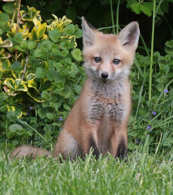 016 Fox Family on Front and Walnut.jpg
