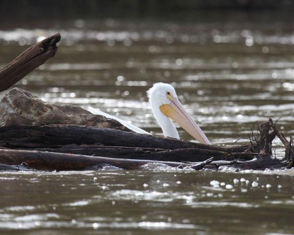 017 Pelicans on Missouri River.jpg