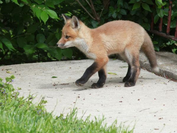 021 Fox Family on Front and Walnut.jpg