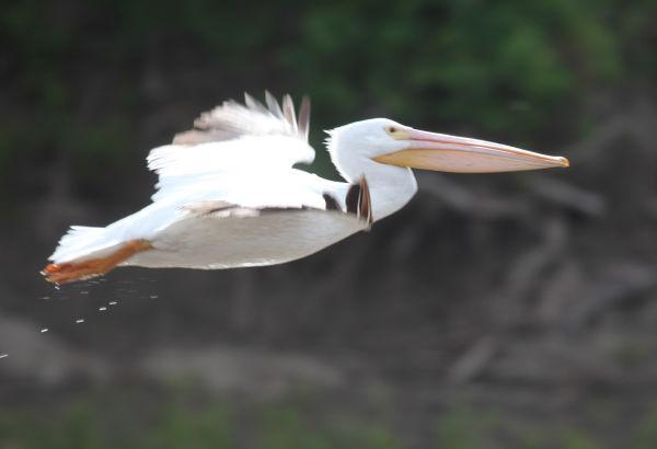 027 Pelicans on Missouri River.jpg