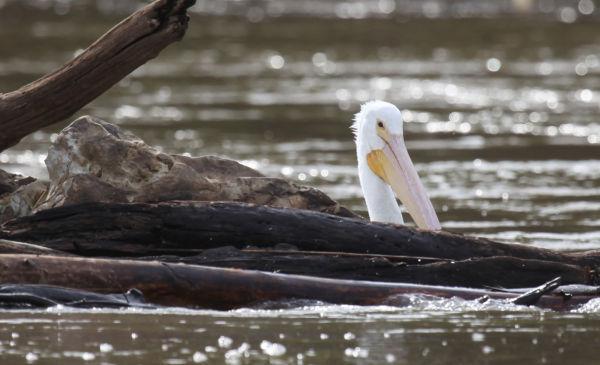016 Pelicans on Missouri River.jpg