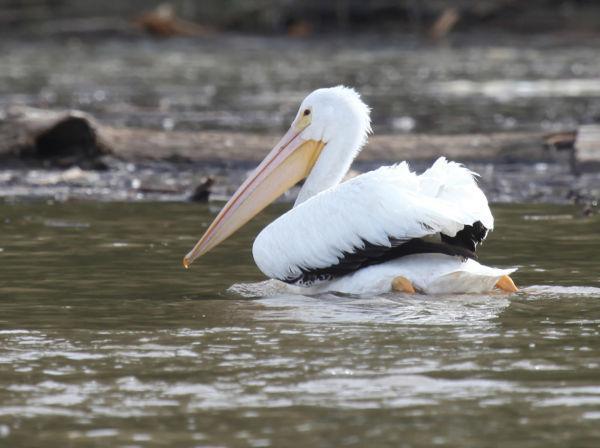 019 Pelicans on Missouri River.jpg