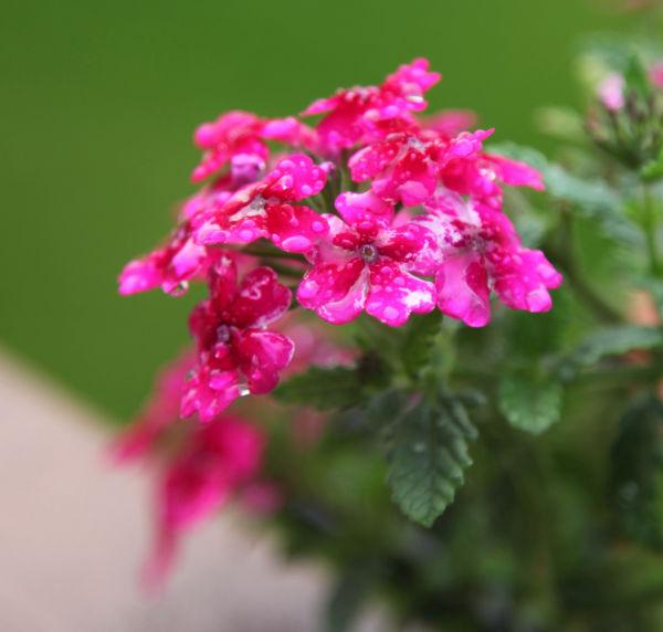018 Early Summer Blooms 2014.jpg