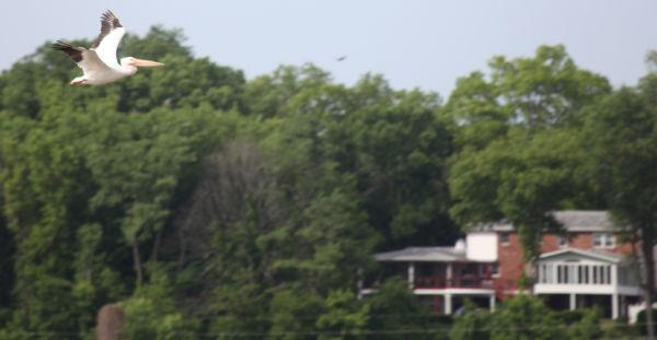 031 Pelicans on Missouri River.jpg
