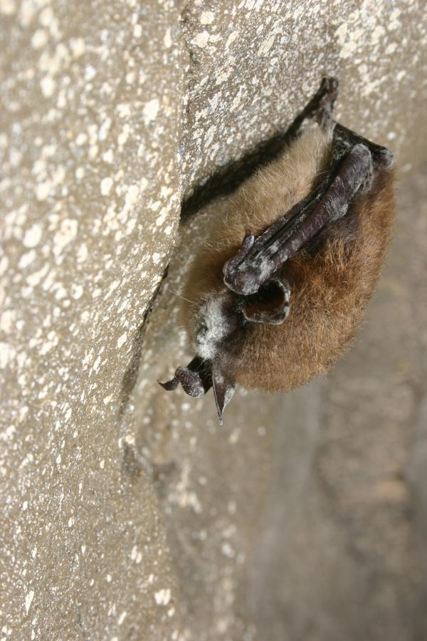 Bat Disease Found in Franklin/Washington Counties