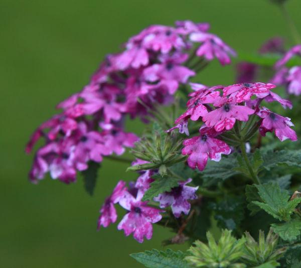 020 Early Summer Blooms 2014.jpg