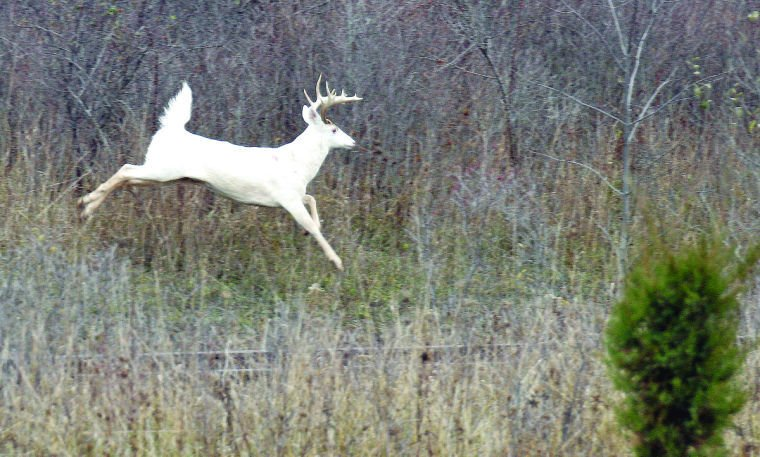 Seneca County committee votes to protect white deer | News | fltimes.com