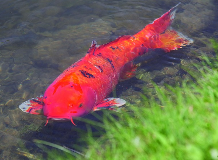 Images for july 11 2012 news for Local koi fish for sale