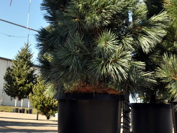 Businesses Offer Potted Trees That Can Be Planted After