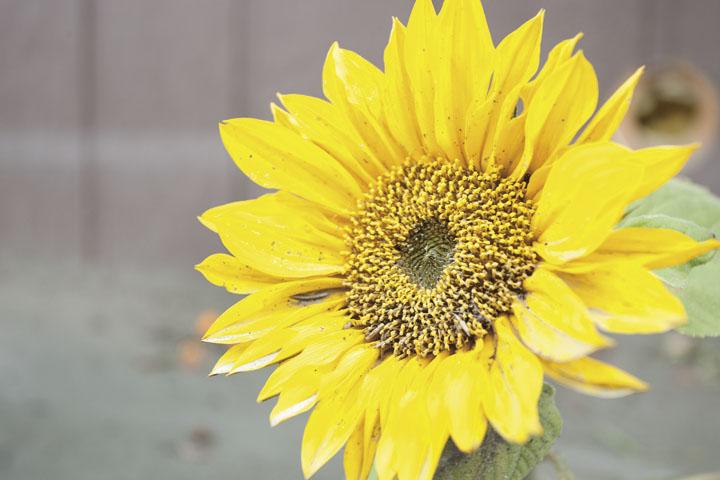 Flooding Sunflower
