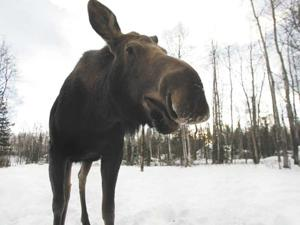 Moose accidents reach crisis levels