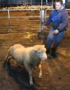 11-14 Sheep Barns1b-js.jpg