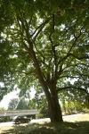 Historic tree gets helping hand