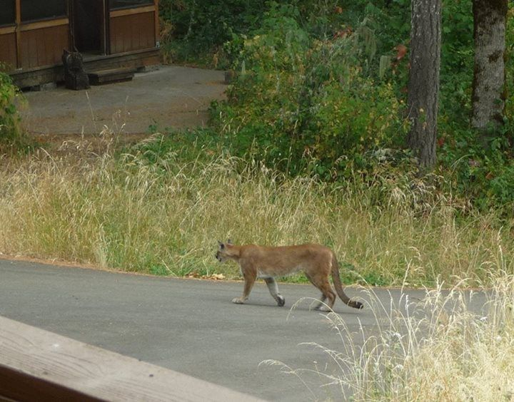 cougars in oregon city