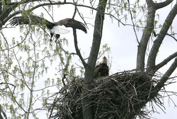 eagle nest muslim Eagle nest says jul 20, 2017 at 9:00 pm at best noor may be doubting his muslim theocracy realizing a conscious that says he has done a wrong thing by shooting an innocent infidel or non-believer.