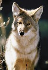 Coyote population on the rise in North Iowa