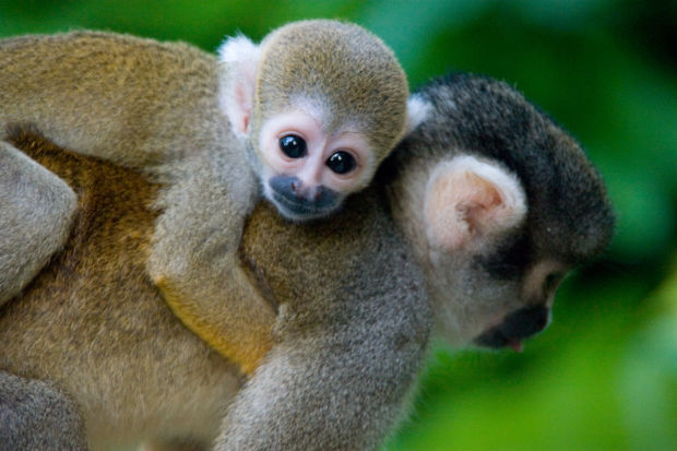 squirrel monkeys in the amazon forest
