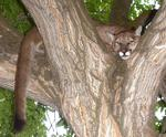 <p>A young cougar sits in a tree on 600 North in Petersboro. DWR officals tranqualized the cat and relocated it in the Wellsville Mountains.</p>