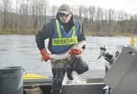 <p>Robert Schuyler, an Upper Skagit tribal natural resources technician, takes a wild steelhead out of a holding tank Friday, March 13, on the Skagit River. Scott Terrell / Skagit Valley Herald</p>