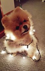 <p>Ky Ky the 13-year-old pomeranian is all lit up for the holidays in this photo, taken last December by owner Kalie Canfield of Sedro-Woolley.</p>