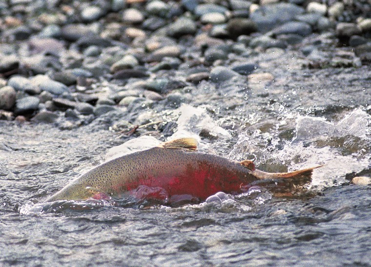 Coho salmon fishing limits increased