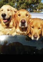 "<p>Golden retrievers Paulie (from left), 4, Bob, 7, and their mom Phoebe, 9, eagerly await a ride in the backseat of Anacortes resident Dan Crookes' truck. ""They are great family members and well worth the fur everywhere,"" said Crookes.</p>"