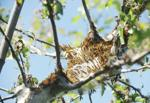 <p>Hundreds of tent caterpillars eat away at the leaves of an apple tree in spring 2014. Caterpillars are voracious eaters and can defoliate entire trees if left unchecked. However, as they feed in early spring, the caterpillars turn young leaves into compost that rains down to replenish soil, and most trees have time to regrow leaves after the caterpillars are gone. Aggressive defoliation in an orchard, though, can be devastating in terms of growth and crop yield. Brandy Shreve / Skagit Valley Herald</p>