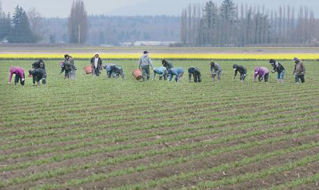 <p>Workers rogue unwanted plants Wednesday morning from a tulip field off Beaver Marsh Road west of Mount Vernon. Scott Terrell / Skagit Valley Herald</p>