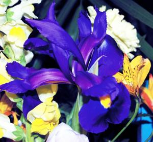 Blue Iris: For flowers that surpass the standard pink carnation