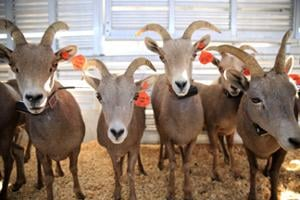 Dozens of Bighorn sheep relocated to Tucson-area mountains