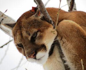 Montana men sentenced in mountain lion killings
