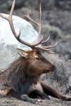 Brucellosis in elk