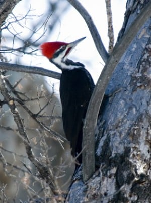 special bone structure protects pileated woodpecker�s
