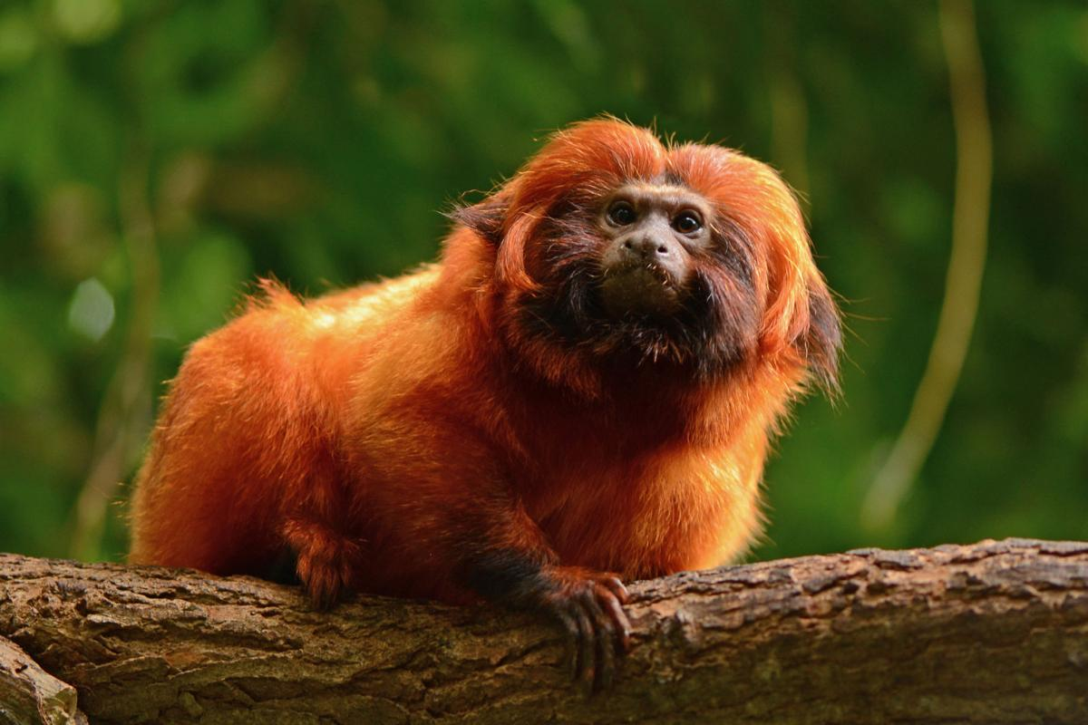 Wildlife Commission considering banning marmosets and ...
