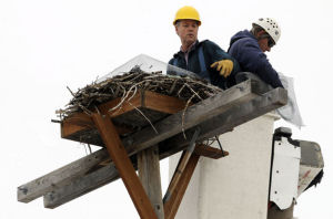 Missoula protects osprey nest at ballpark from Canada goose