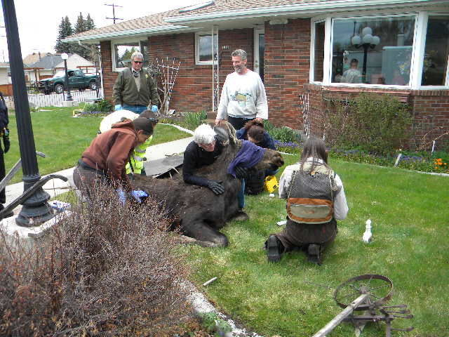 Moose wanders into butte yard collapses on flower bed for Fish wildlife and parks