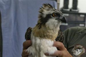 PHOTOS: Illinois Raptor Center assists in Osprey re-introduction