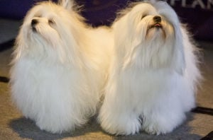 Westminster Dog Show preview