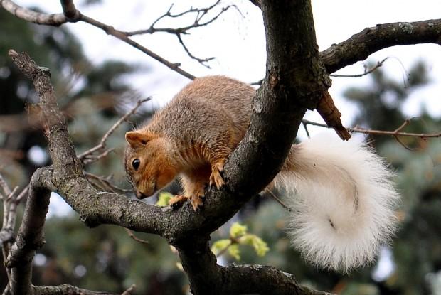 Whitetailed squirrel brightens