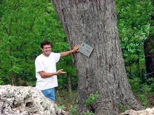 Big Trees: Lacey oak